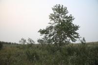 76_stimson-tree.jpg